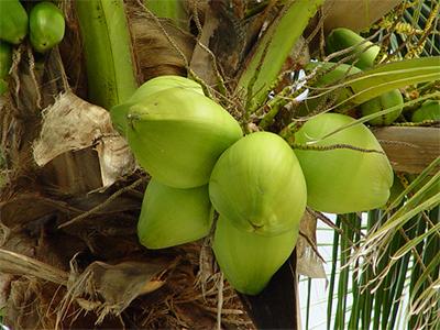 ココナツ ヤシの実